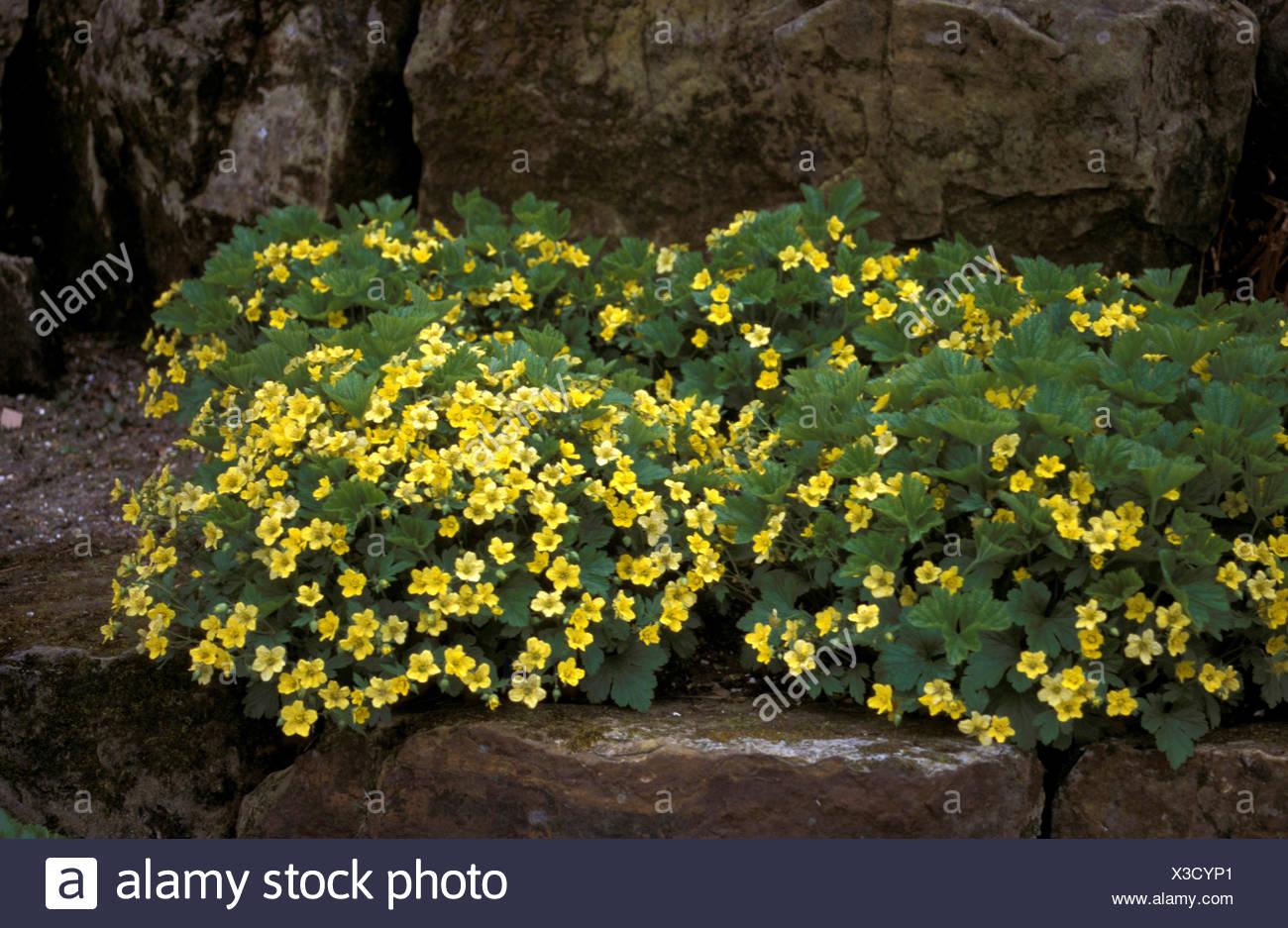 Waldsteinia geoides evergreen perennial ground cover yellow flowers waldsteinia geoides evergreen perennial ground cover yellow flowers summer mightylinksfo