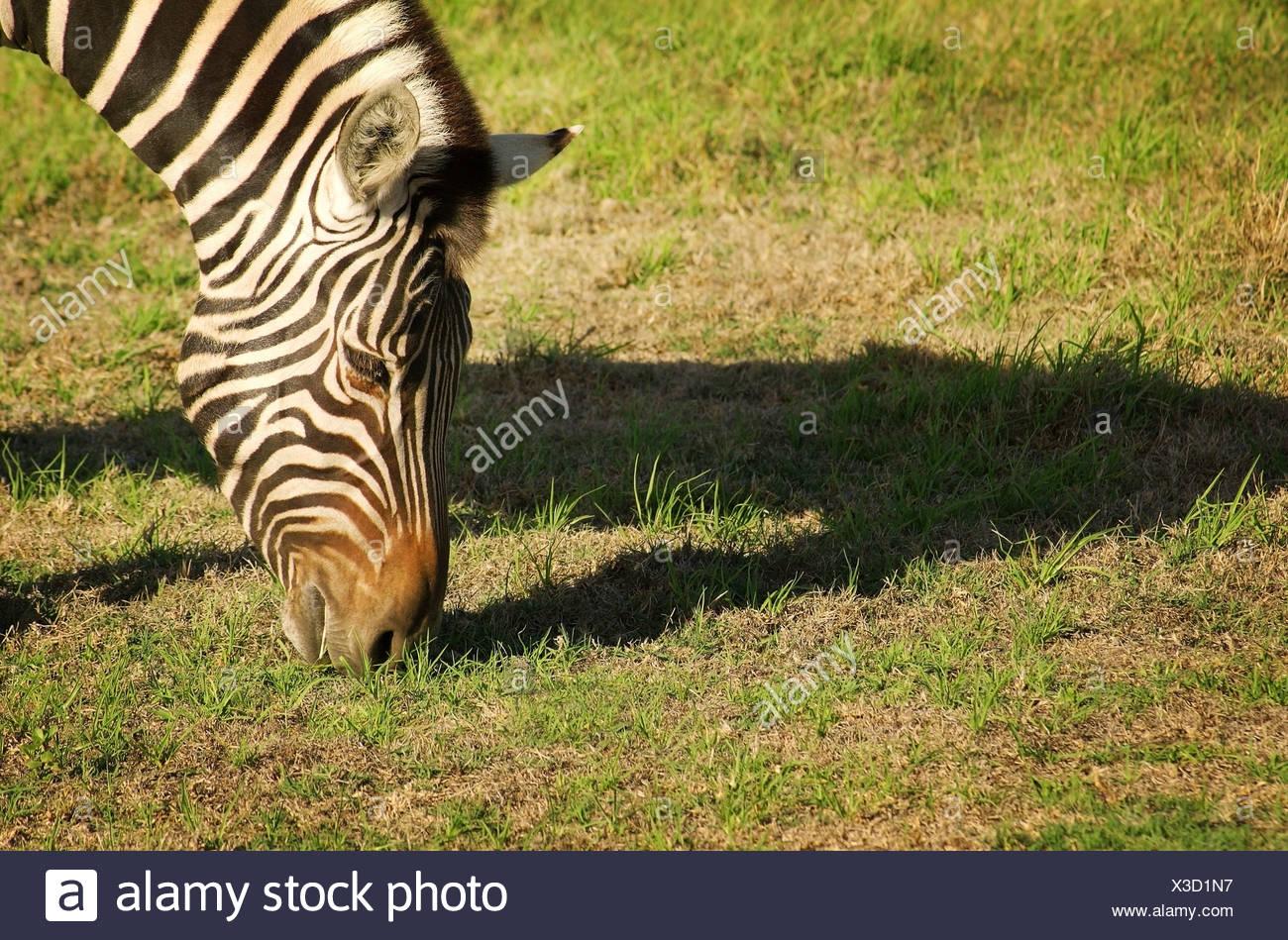 Zebra eating grass - Stock Image