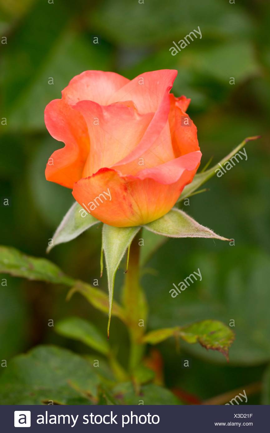 Lawrence of Arabia rose, Heirloom Roses, St Paul, Oregon. - Stock Image