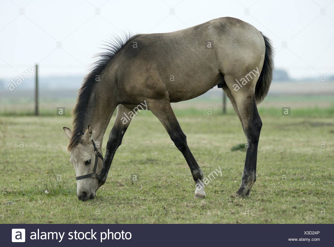 young horse,foal - Stock Image