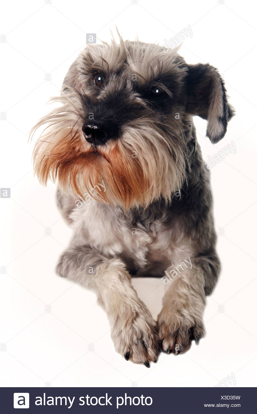 Schnauzer, domestic dog, portrait - Stock Image