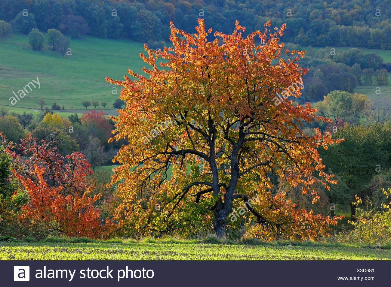 fruit tree meadow in autumn at the biosphere reserve Schwaebische Alb, Germany, Baden-Wuerttemberg - Stock Image