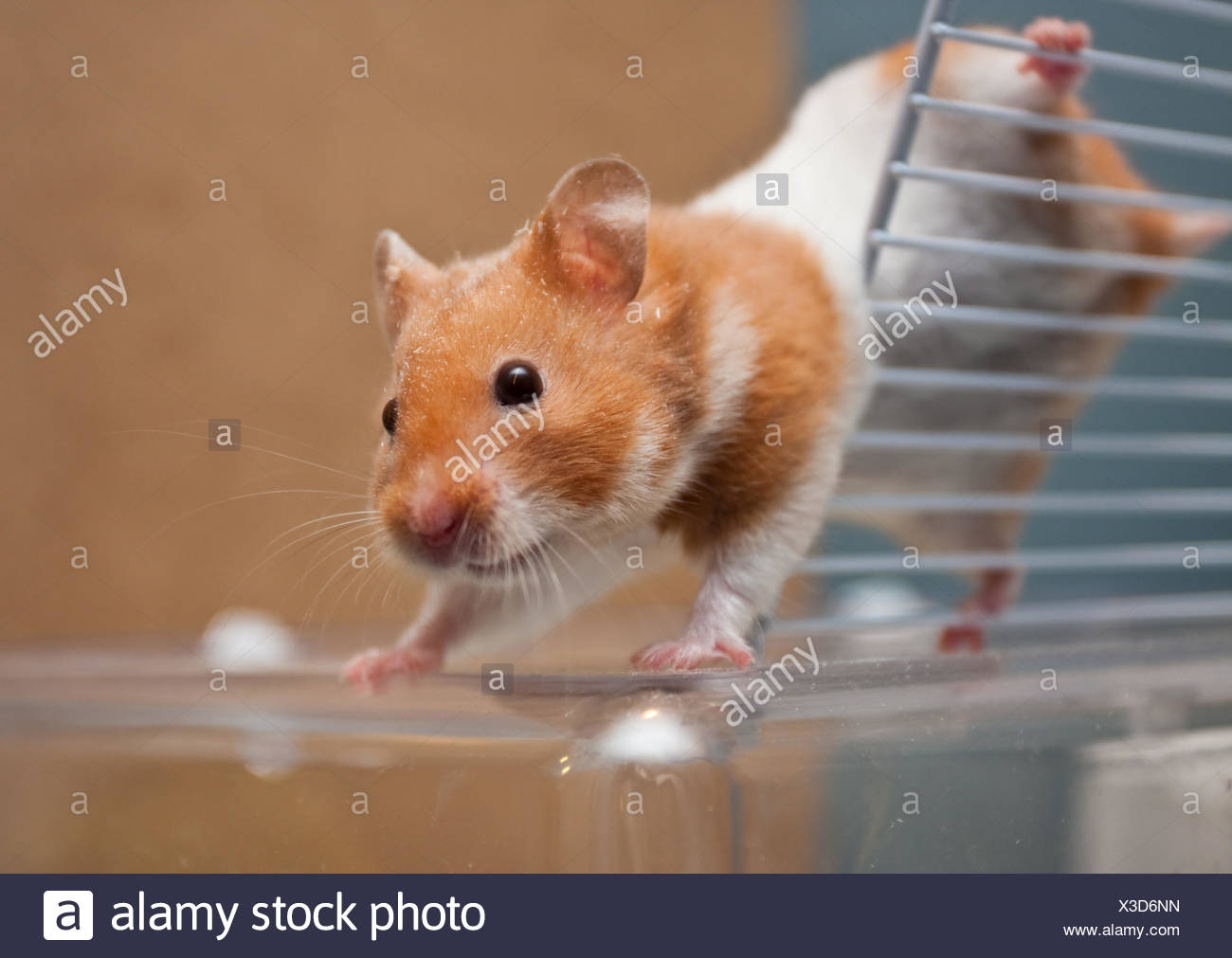 risk animal pet rodent fur freedom liberty spring bouncing bounces hop skipping frisks jumping jump brave tail mouse hamster - Stock Image