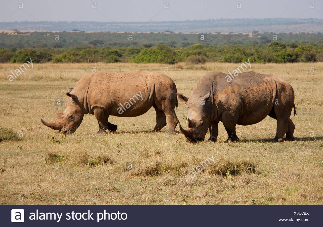 two rhinos - Stock Image
