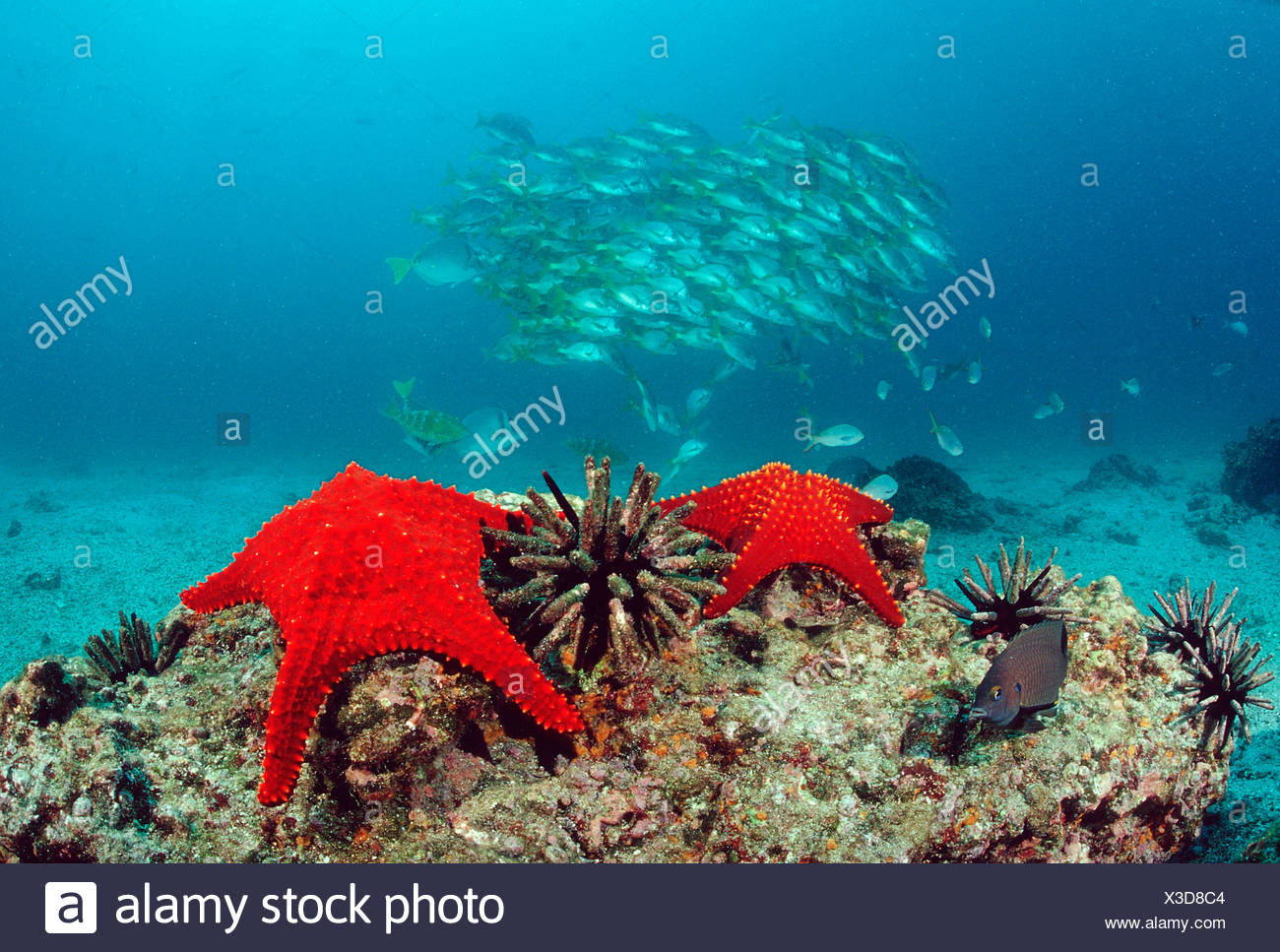 Red Seastars Baja California Pacific Mexico - Stock Image