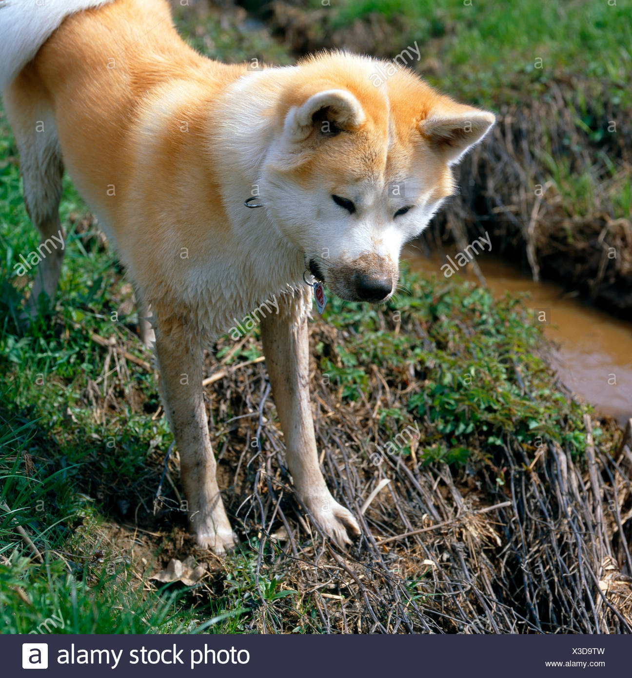 Akita Inu, hound, nowadays mostly family dog, rummaging in stream course - Stock Image
