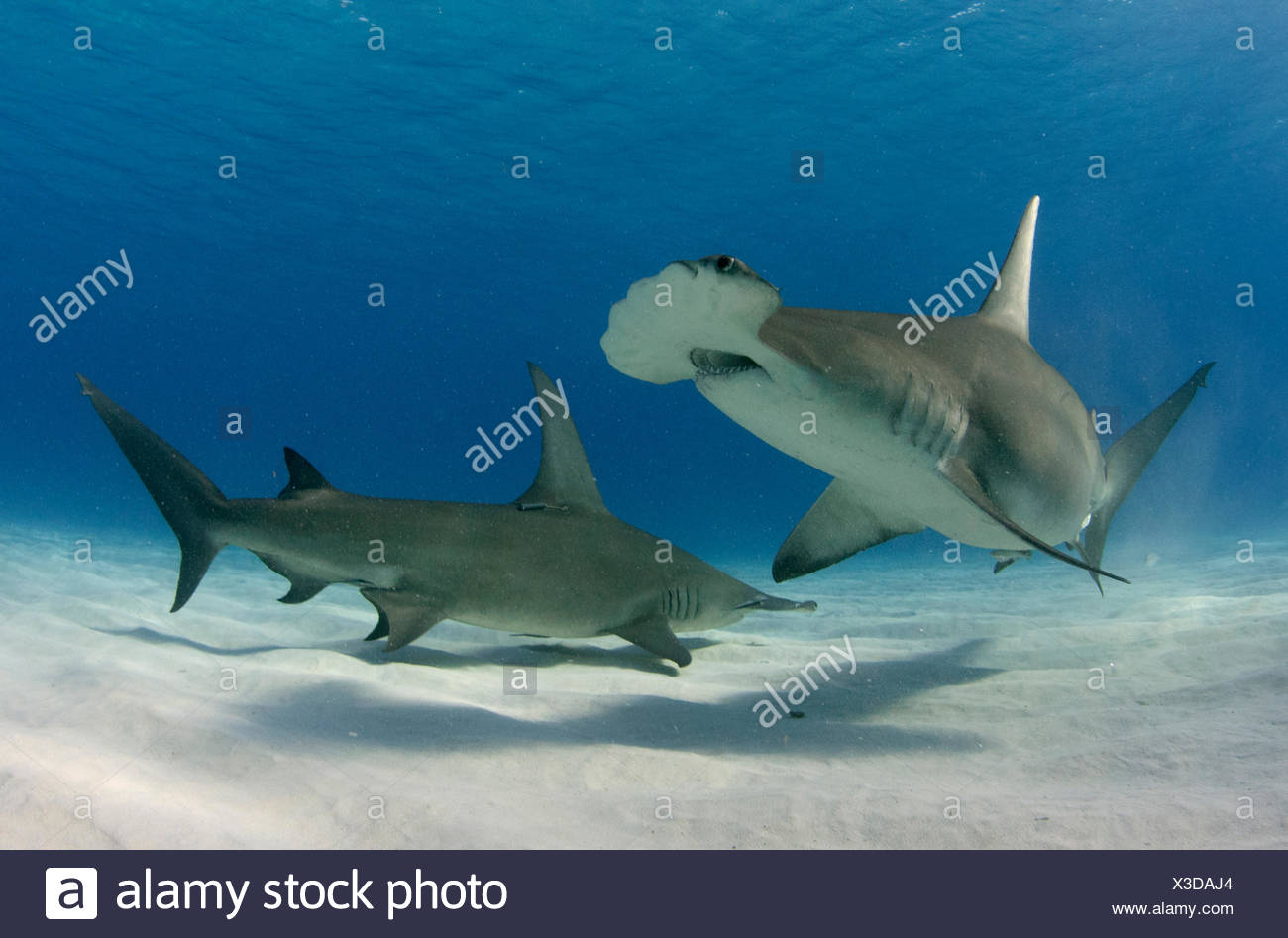 Great hammerhead sharks, a shark species endangered by overfishing for its fins - Stock Image