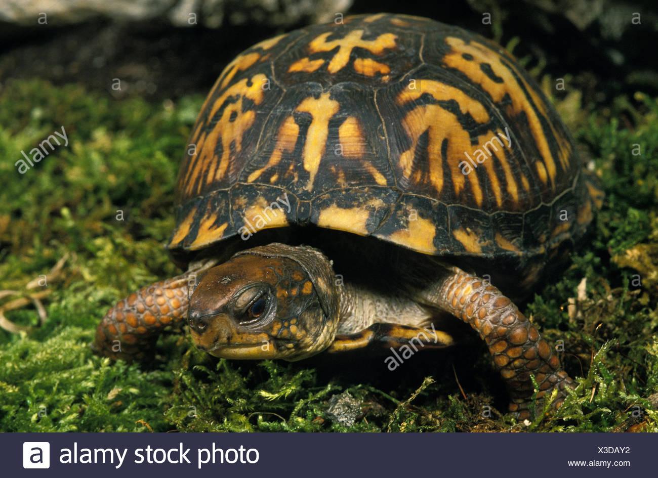 Eastern Box Turtle, terrapene carolina, Adult on Moss - Stock Image