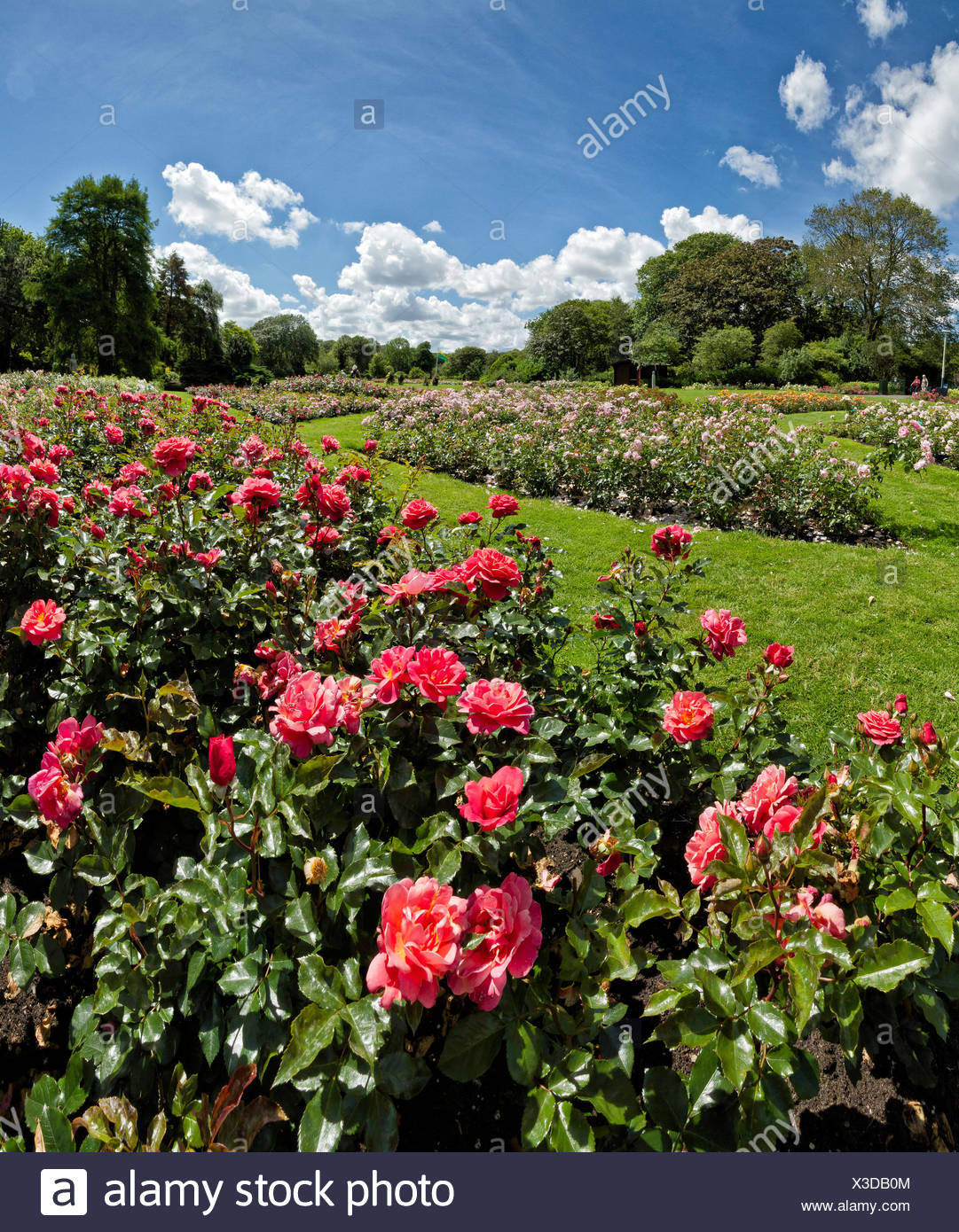 Holland, Europe, Koog aan de Zaan, Scheveningen, Zuid-Holland, Netherlands, landscape, flowers, summer, Rose garden - Stock Image