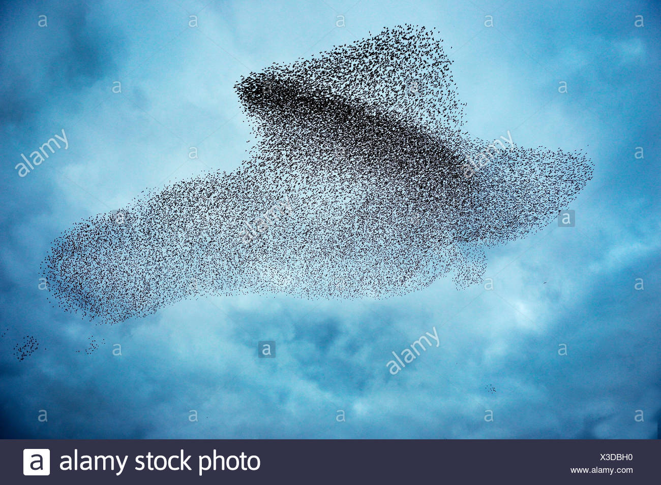 Starlings Sturnus vulgarus flocking before roosting this shape making in the sky is known as a murmuration Gretna Green Dumfries - Stock Image