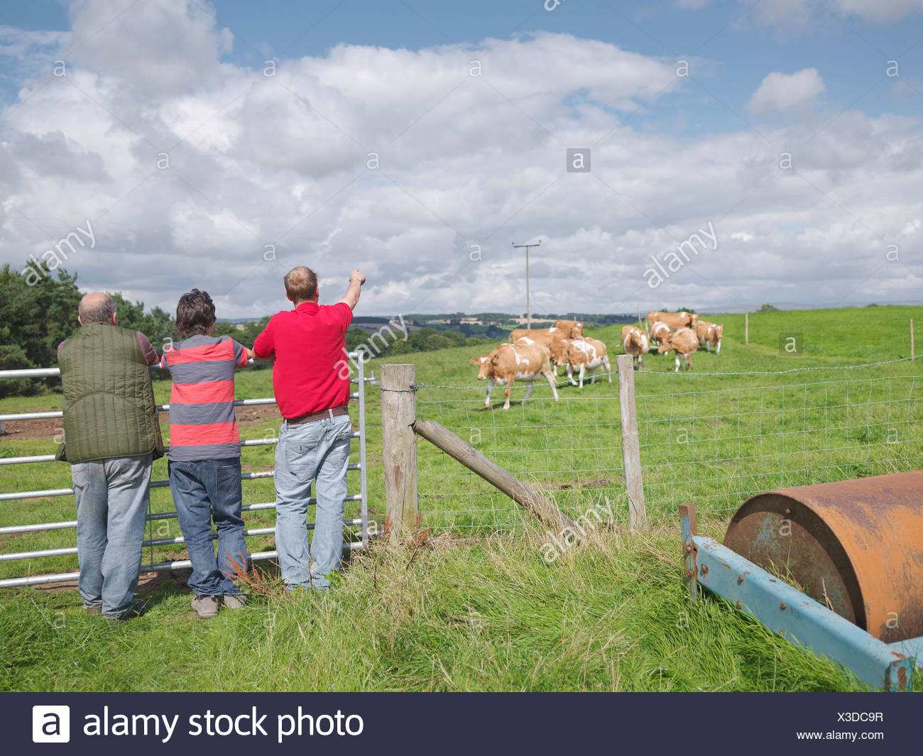 Farmer and sons with Guernsey cows - Stock Image