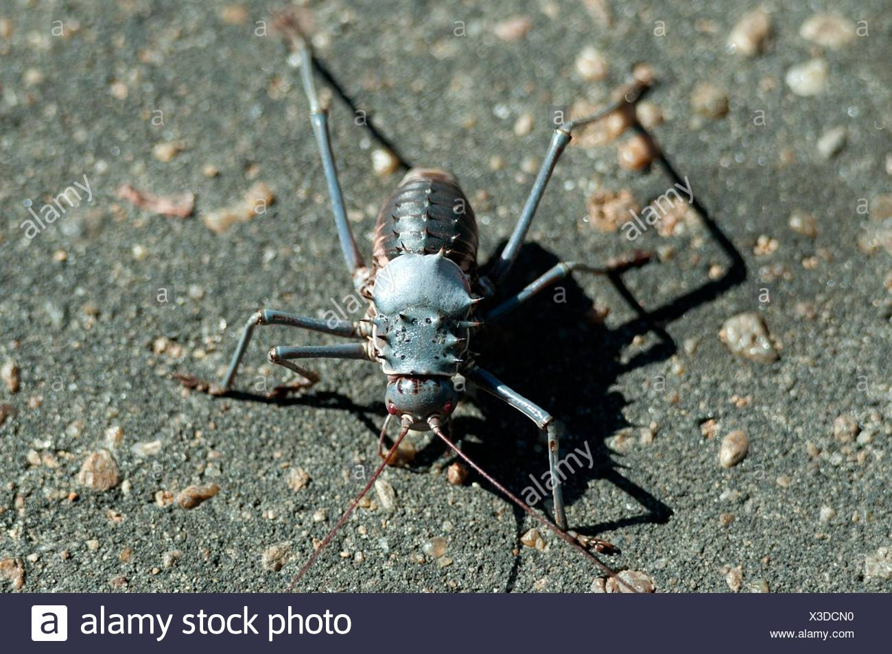 Armoured Bush Cricket (Acanthoplus discoidalis) on tarmac, Kruger National Park, Transvaal, South Africa. - Stock Image