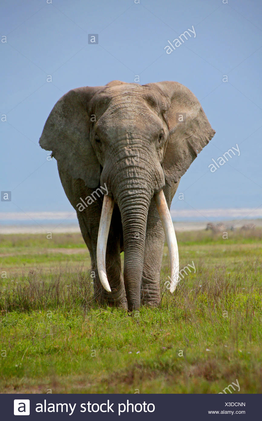 African elephant (Loxodonta africana), bull elephant with very big tusks, Tanzania, Serengeti National Park - Stock Image