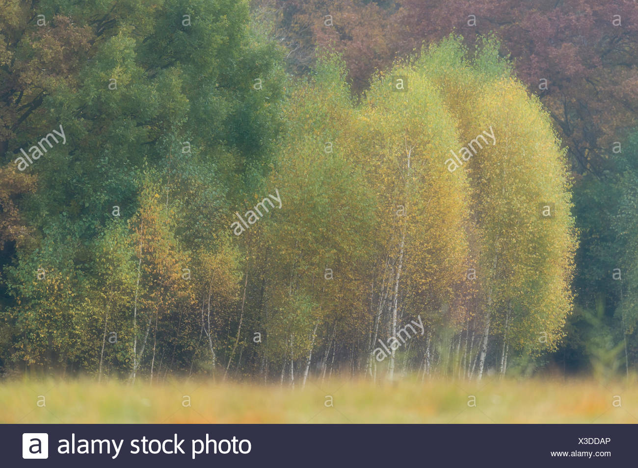 birch trees at the edge of the forest, autumnal mood, kutno, poland, europe - Stock Image