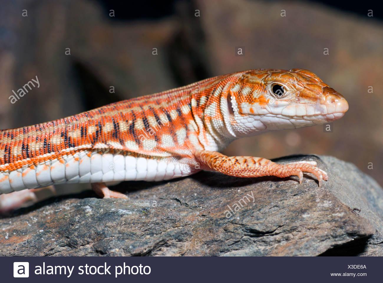 Painted Long Tailed Lizard (Latastia longicaudata), on a stone Stock Photo