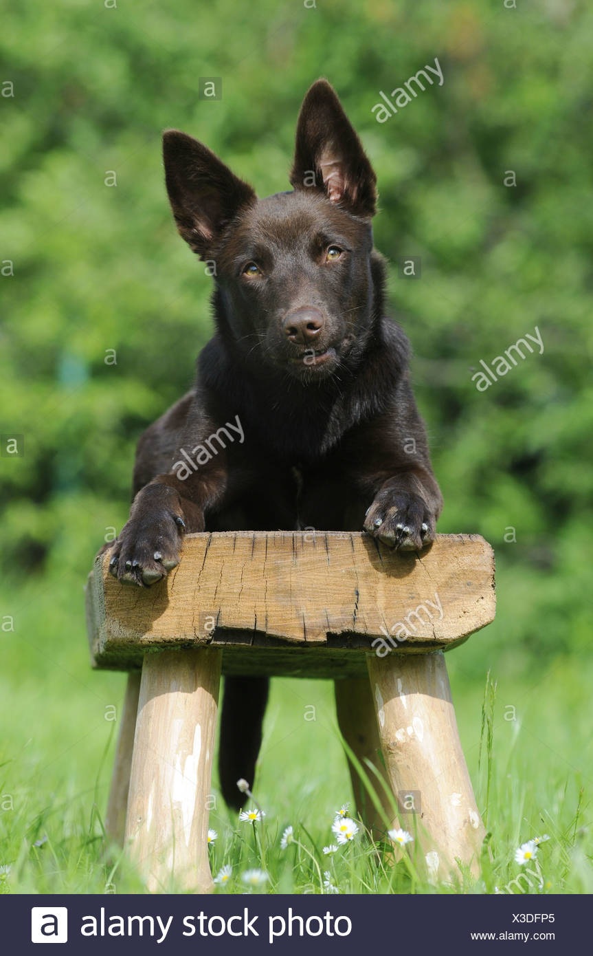 Surprising Australian Kelpie Chocolate Coloured Lying On A Wooden Pdpeps Interior Chair Design Pdpepsorg