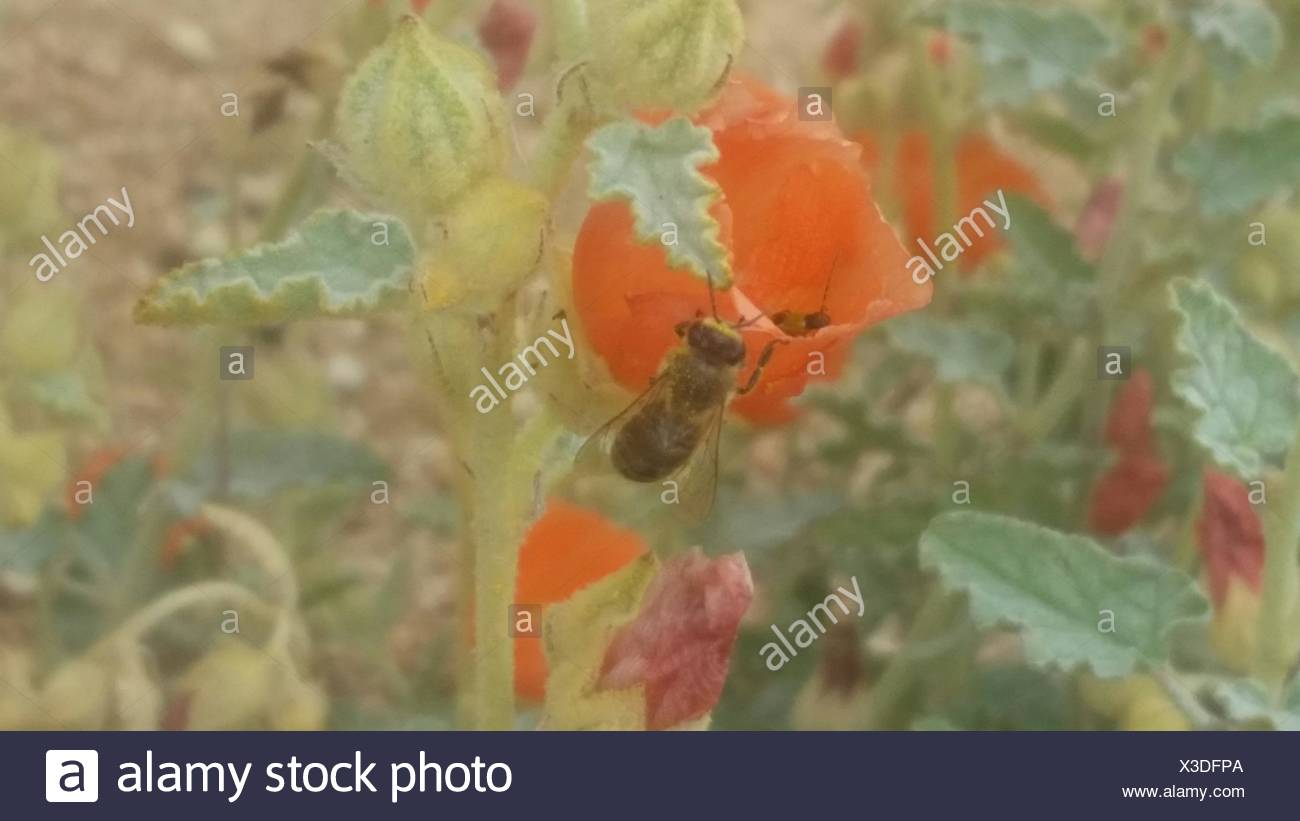 Honey Bee Feeding On Red Poppy Nectar - Stock Image