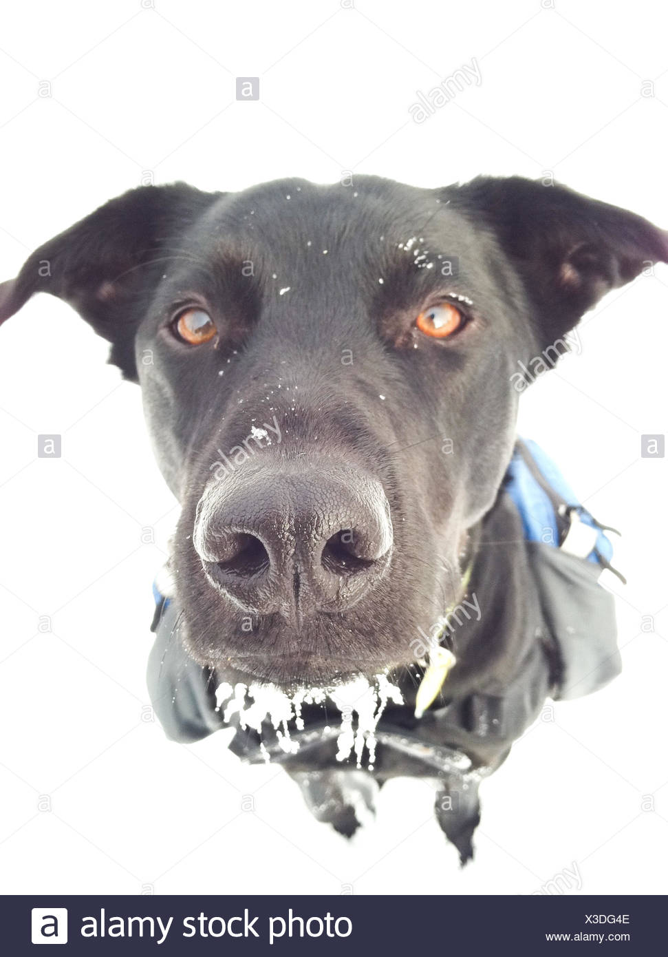 Portrait of a dog in the snow - Stock Image