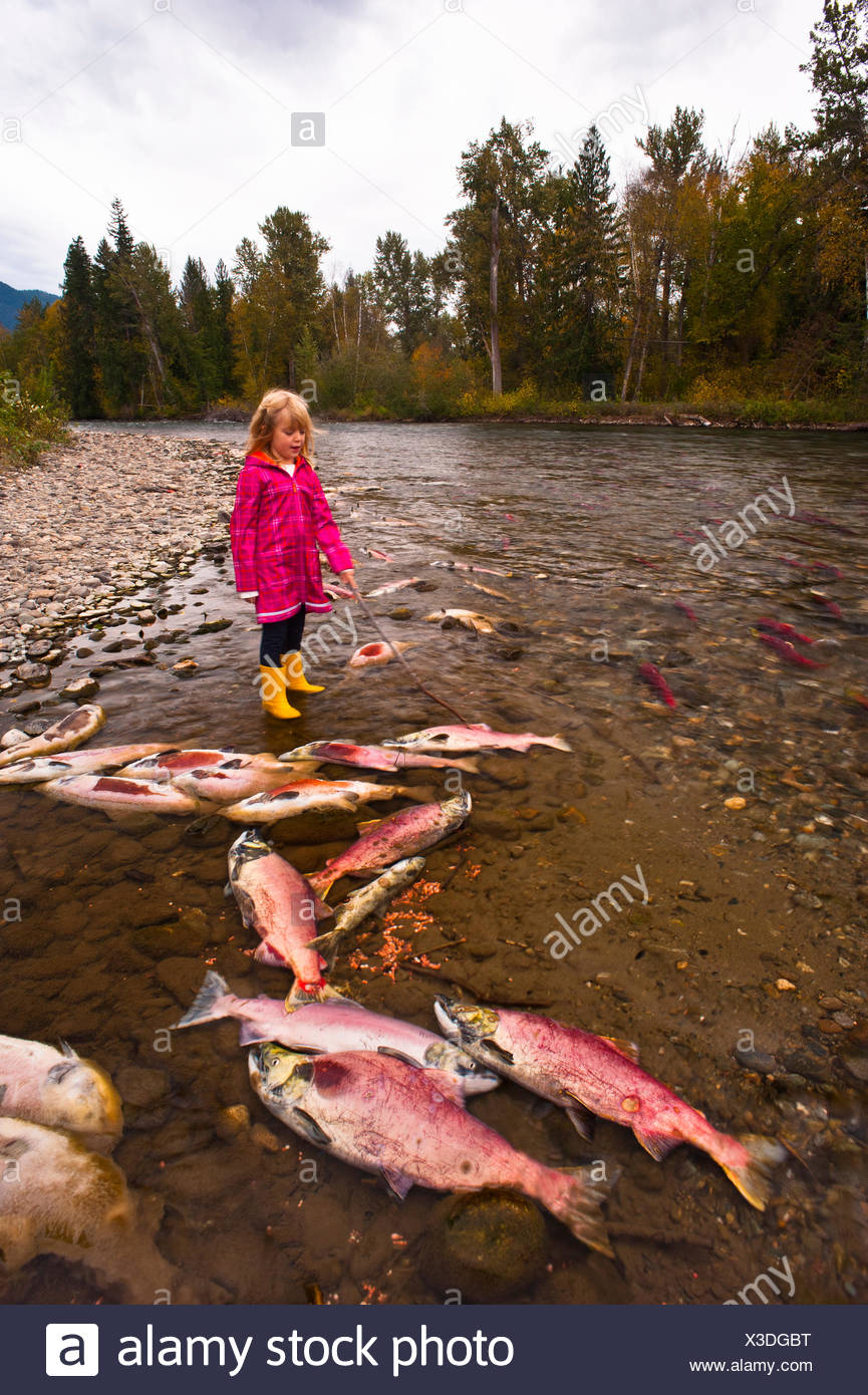 Spawning Sockeye salmon (Oncorhynchus nerka), also called red salmon in the Adams River, British Colulmbia, Canada. - Stock Image
