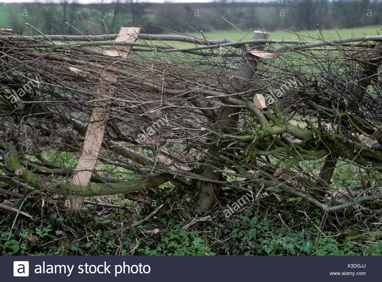 A leafless newly laid hedge with supporting staves - Stock Image