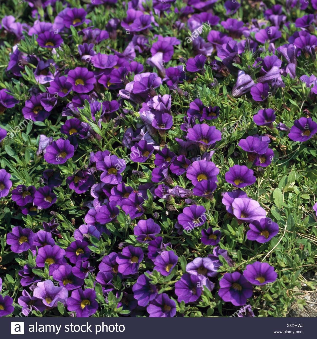 Calibrachoa - 'Million Bells Trailing Blue' - (Syn. Petunia `Million Bells Trailing Blue')   ANN103350  Compulsory Cre - Stock Image