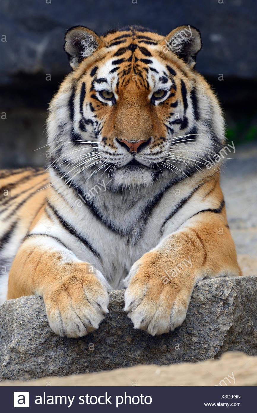 Young Siberian tiger (Panthera tigris altaica) portrait, captive - Stock Image