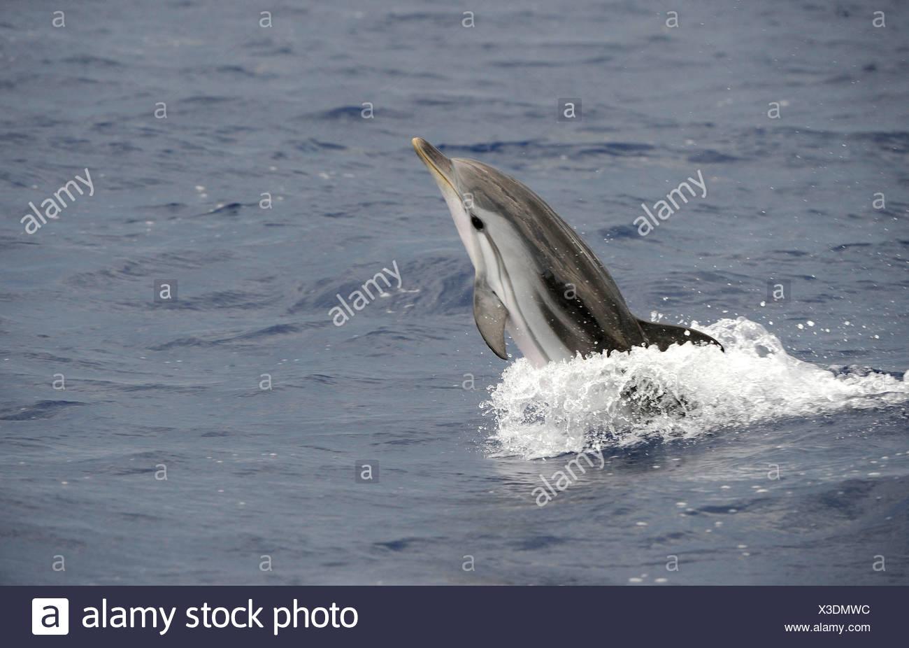 striped dolphin, blue-white dolphin, Euphrosyne dolphin (Stenella coeruleoalba), jumping, Mediterranean - Stock Image