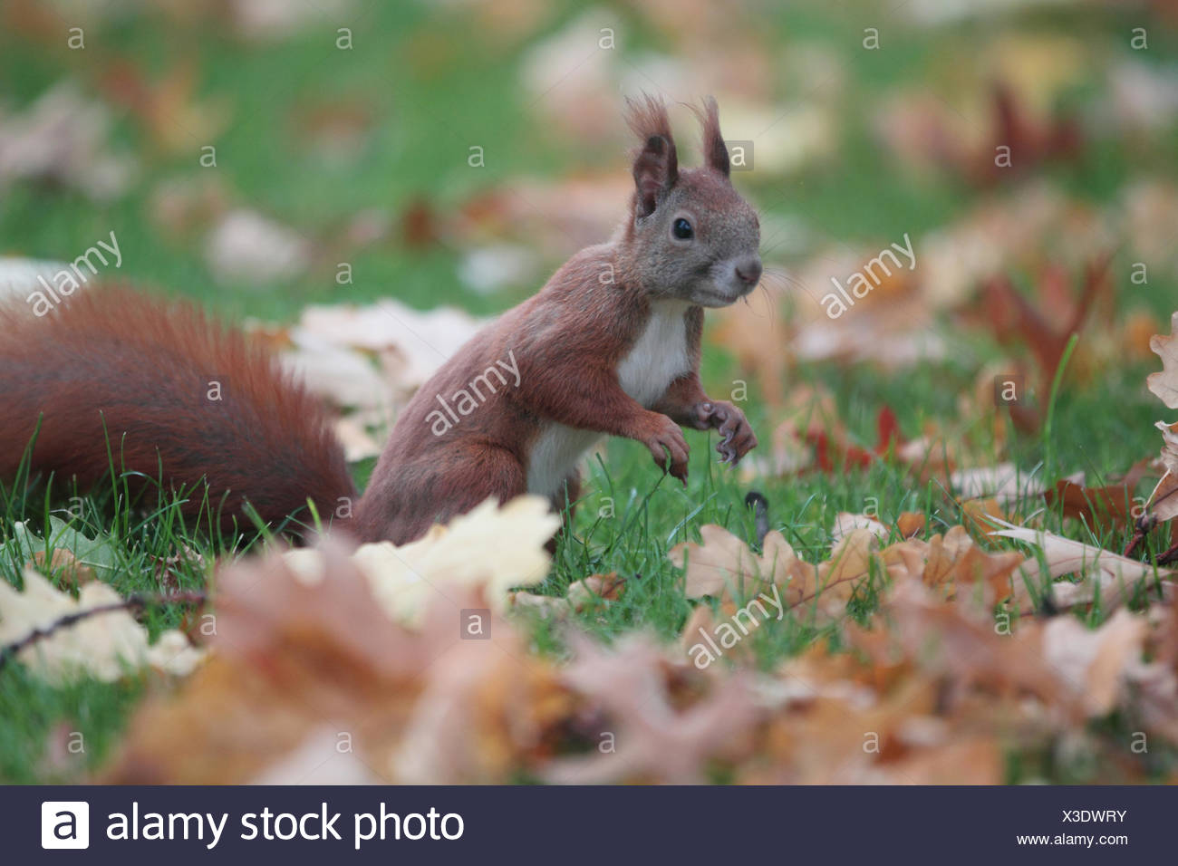 Portrait of an Eurasian red squirrel, Sciurus vulgaris, a species of tree squirrel common throughout Eurasia. - Stock Image