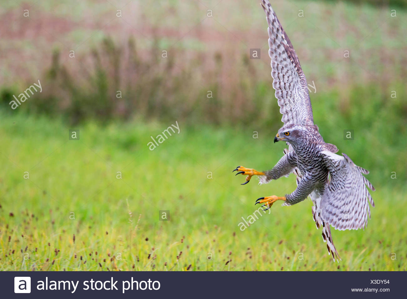 northern goshawk (Accipiter gentilis), landing on grass, Germany, Bavaria, Niederbayern, Lower Bavaria - Stock Image