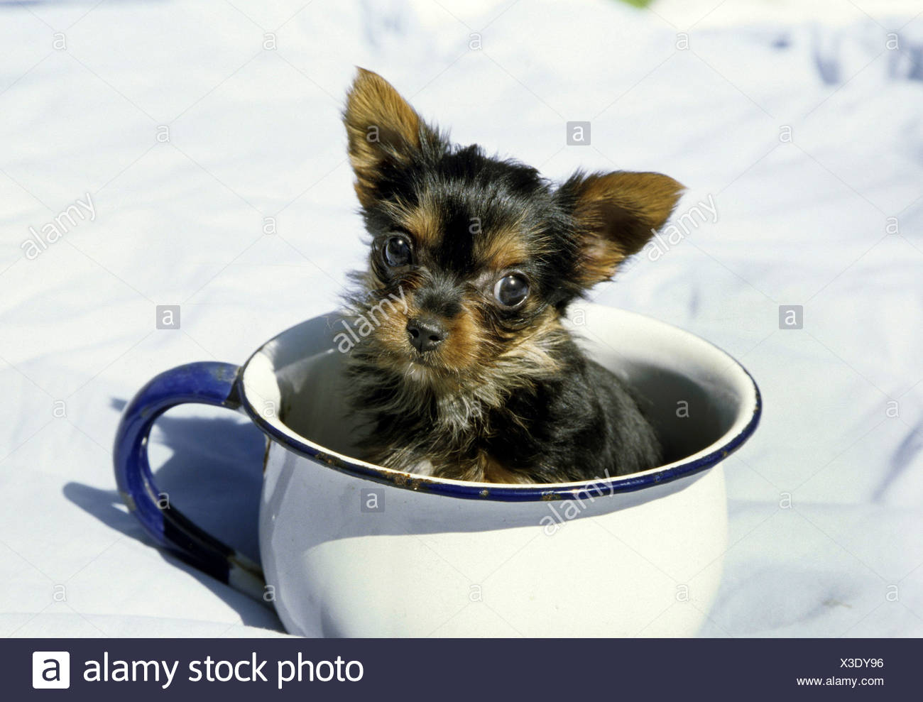 Yorkshire Terrier Puppy In A Tea Cup Stock Photo Alamy