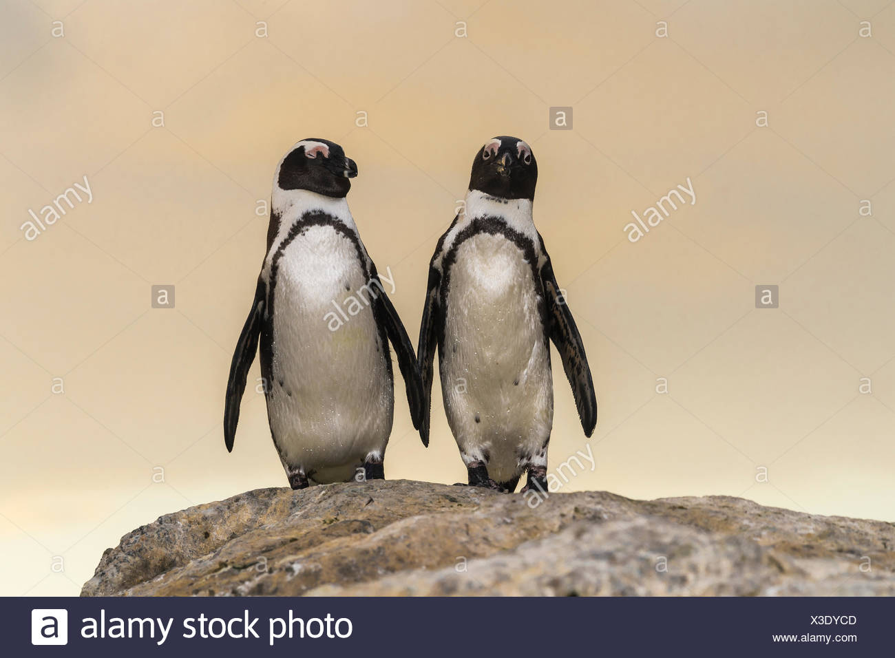 Two spectacle penguins (Spheniscus demersus), pair standing on rock, Bouldersbeach, Simonstown, Western Cape Province - Stock Image