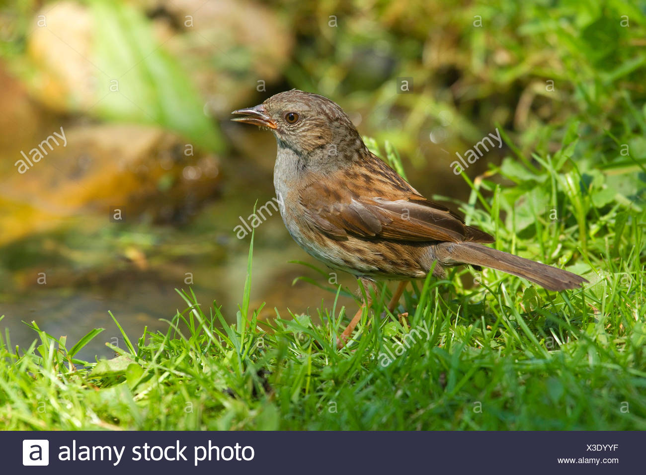 dunnock (Prunella modularis), sings at a bird front, Germany, North Rhine-Westphalia - Stock Image
