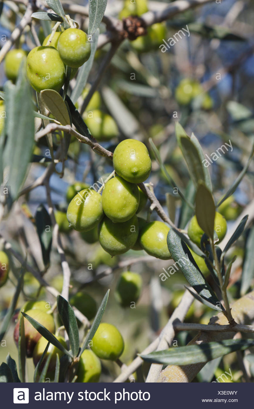 Ripe Olives On An Olive Tree; Cordoba Province, Spain - Stock Image
