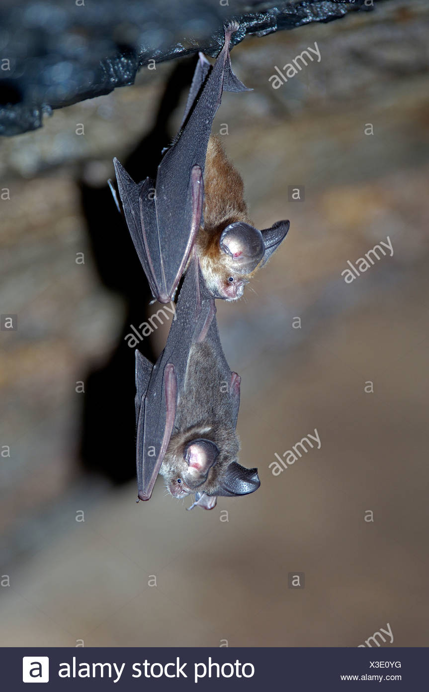 Vampire Bats Stock Photos & Vampire Bats Stock Images - Alamy