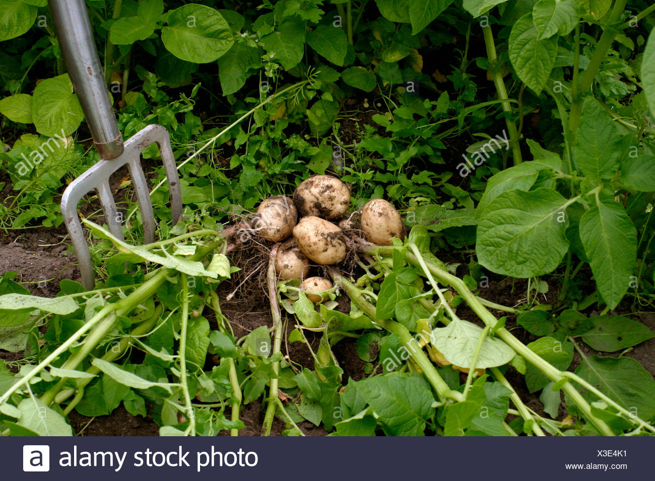 Greenery in the potato-patch - Stock Image