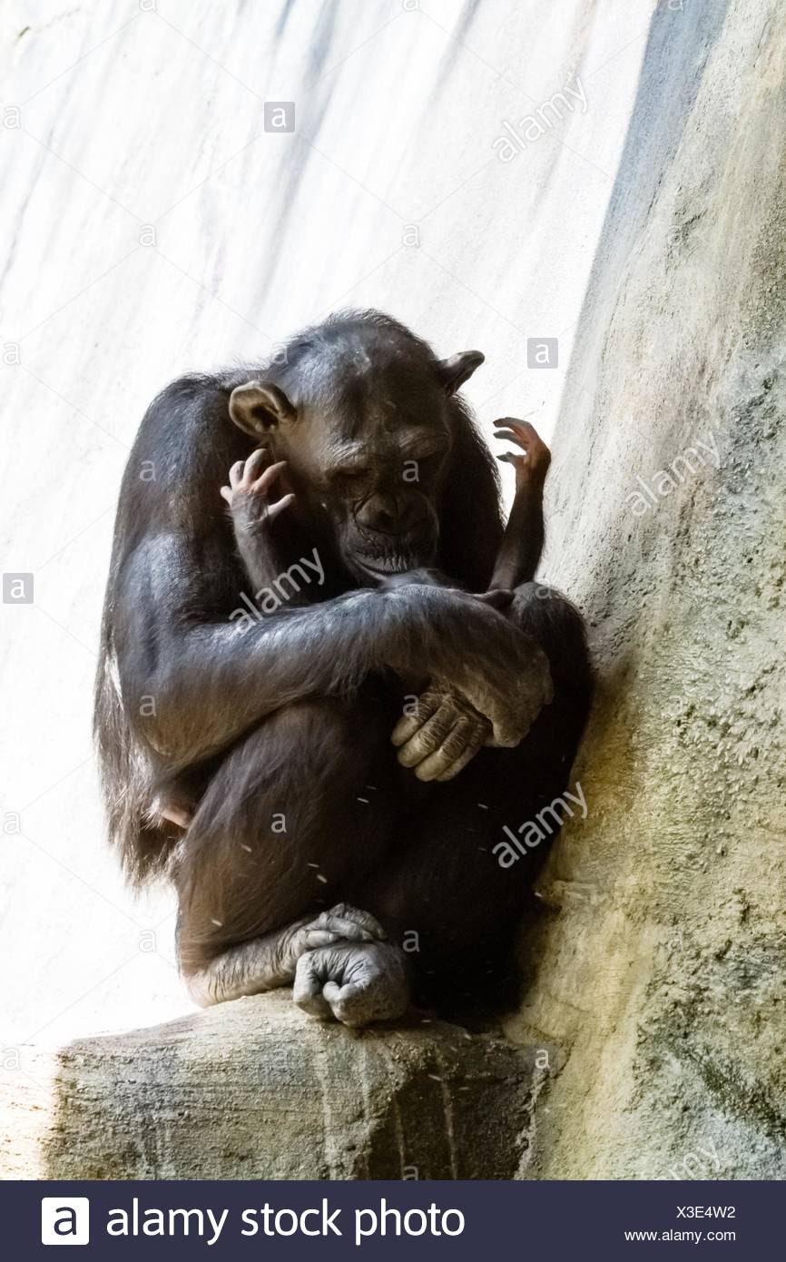 Two month old baby Chimpanzee reaching up to her mom to