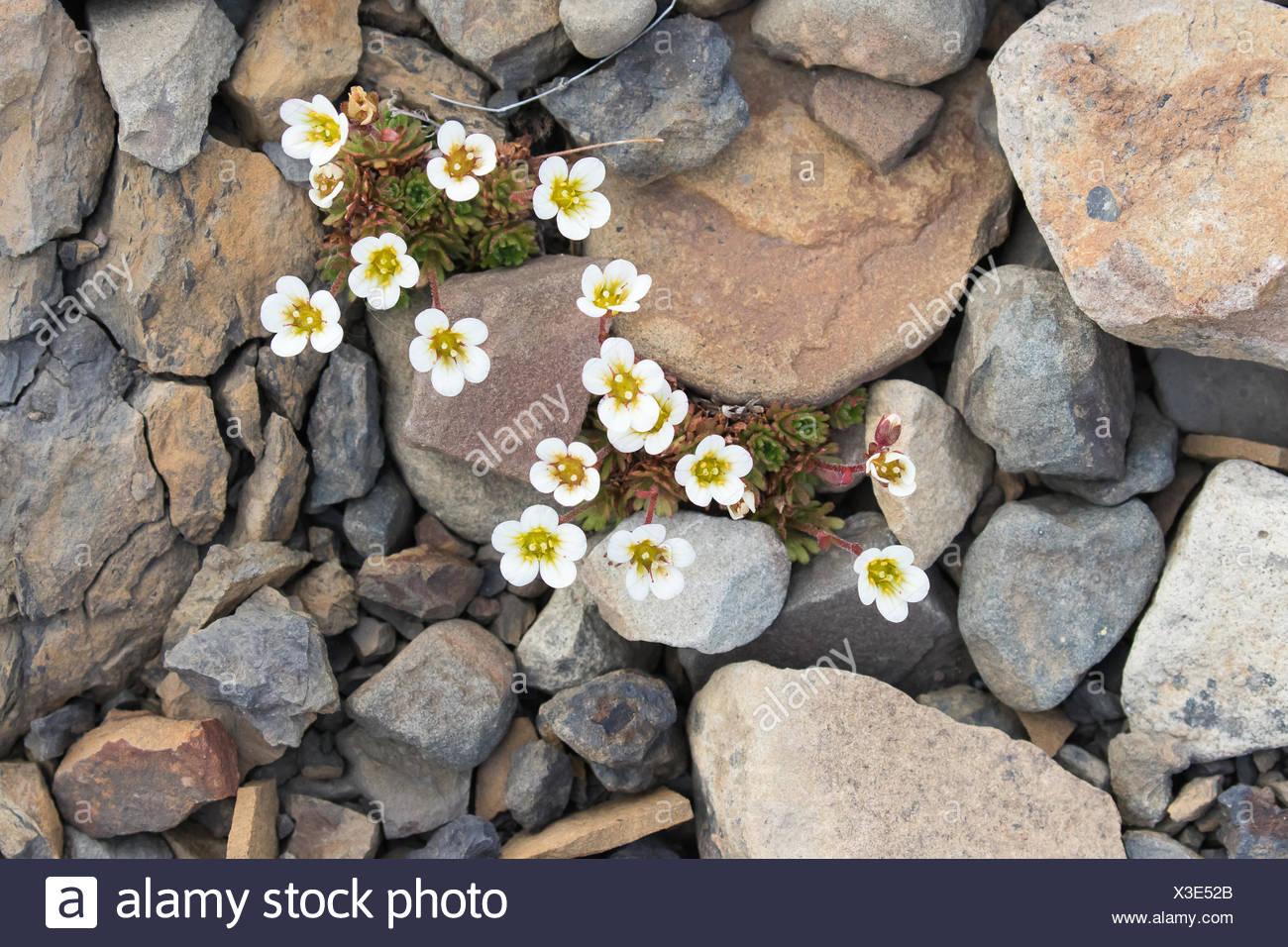 Irish Saxifrage (Saxifraga rosacea), Spitsbergen, Norway Stock Photo