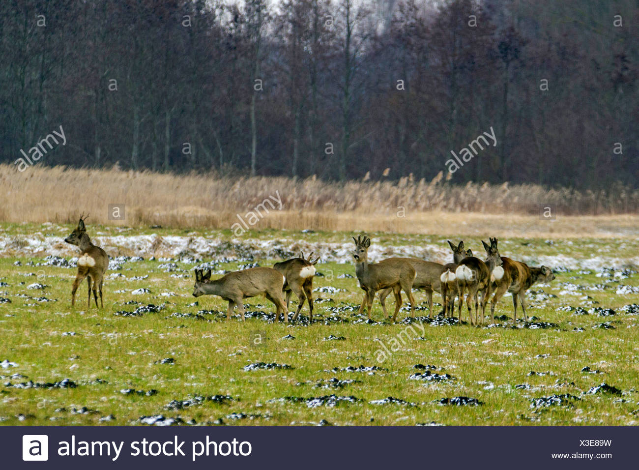 roe deer (Capreolus capreolus), group on meadow in winter, bucks with and without velvet, Germany, Bavaria - Stock Image