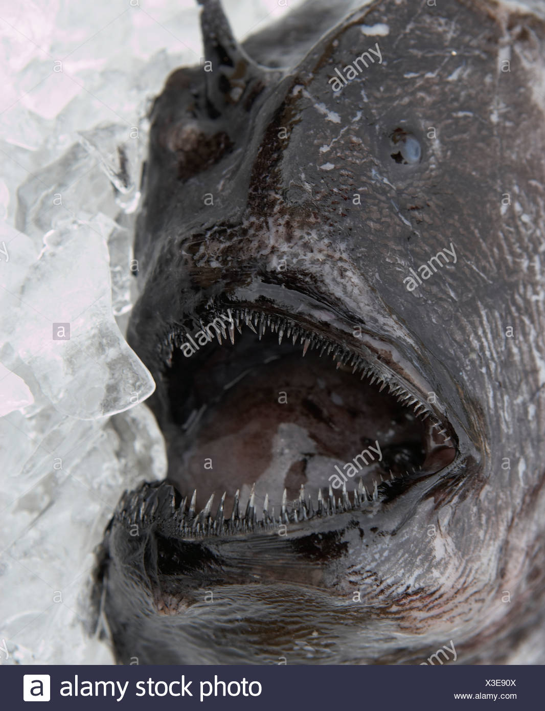 Strange looking fish named, Fangtooth (Anoplogaster cornuta), from North Atlantic Ocean, Iceland - Stock Image