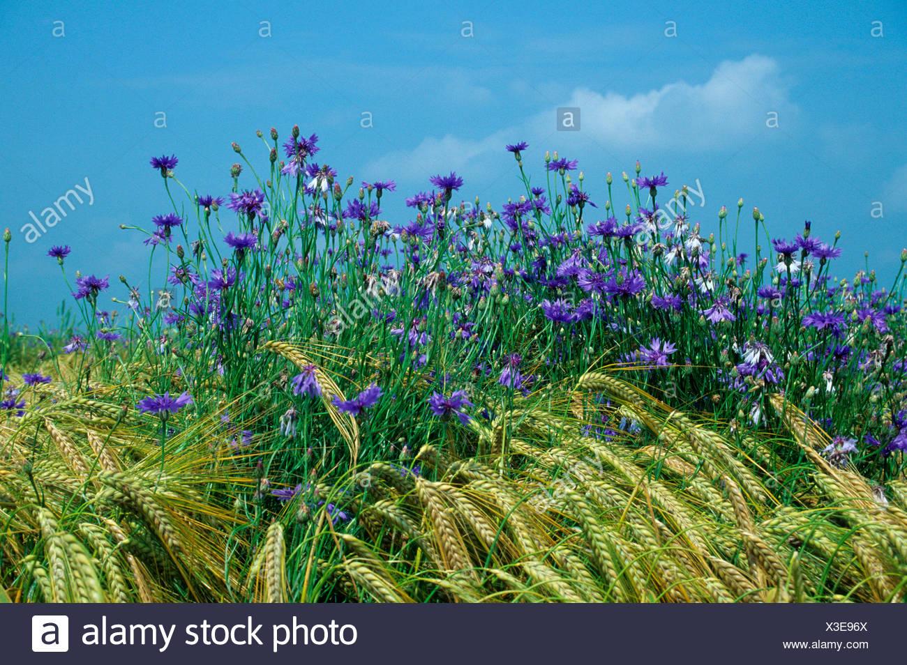 Cornflowers (Centaurea cyanus) in a barley field, Allgaeu, Germany, Europe - Stock Image