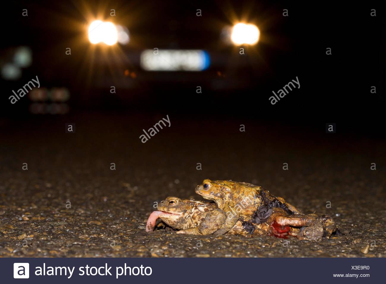 Erdkroete, Erd-Kroete (Bufo bufo), ueberfahrenes Paar auf einer Strasse, Deutschland | European common toad (Bufo bufo), roadkil Stock Photo