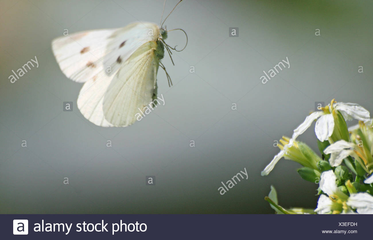 flight, animal, insect, butterfly, cabbage white butterfly, hit, macro, - Stock Image