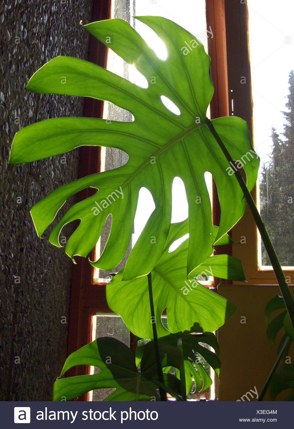 Ceriman, Swiss cheese plant, Split-leaf philodendron, Window