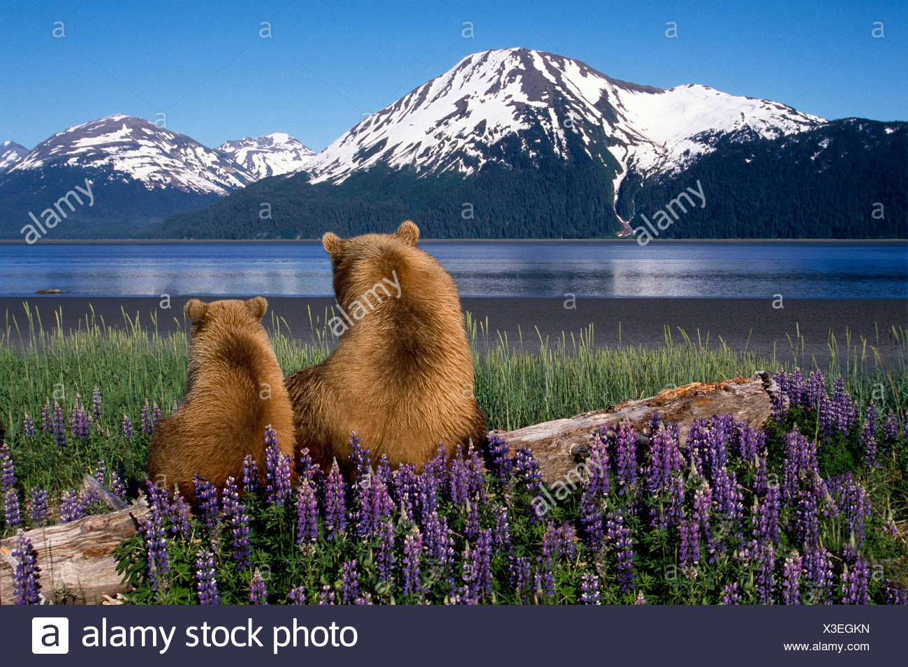 Grizzly Sow & cub sit on log & view Turnagain Arm Southcentral Alaska Digital Composite - Stock Image