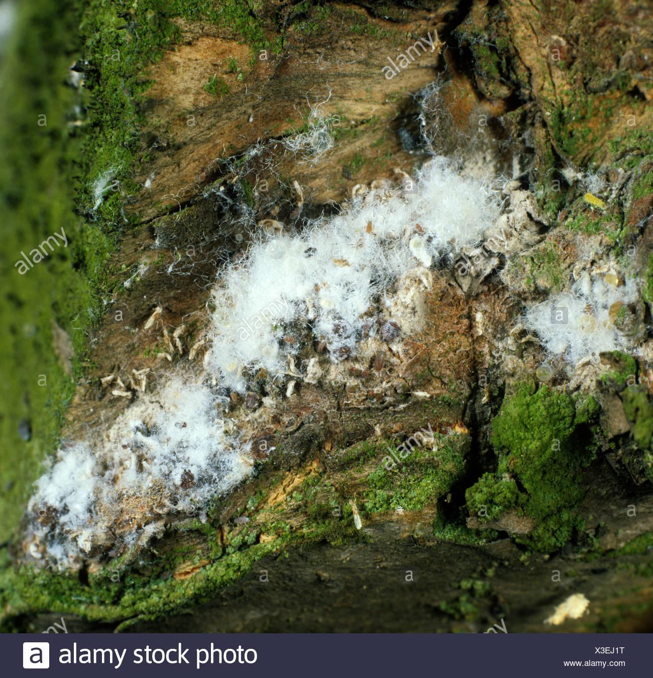 Woolly aphid Eriosoma lanigerum colony on apple wood - Stock Image