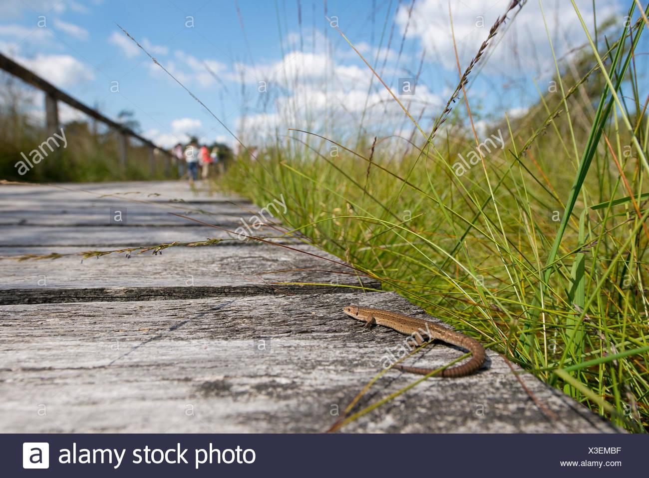 Viviparous lizard (Zootoca vivipara) basking on a boardwalk, Pietzmoor moor, Lüneburg Heath Nature Reserve, Schneverdingen - Stock Image