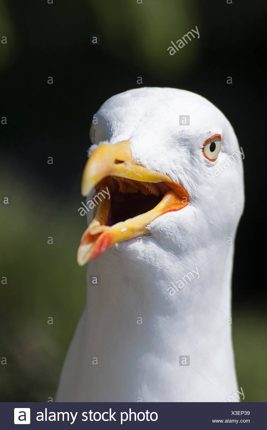 lesser black-backed gull (Larus fuscus), calling, Germany - Stock Image