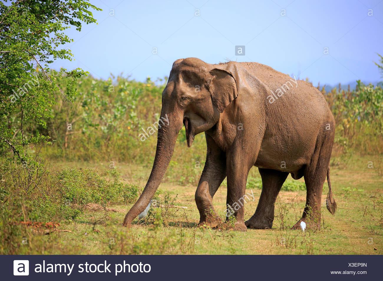 Sri Lankan elephant (Elephas maximus maximus), adult, male, foraging, Udawalawe National Park, Sri Lanka - Stock Image