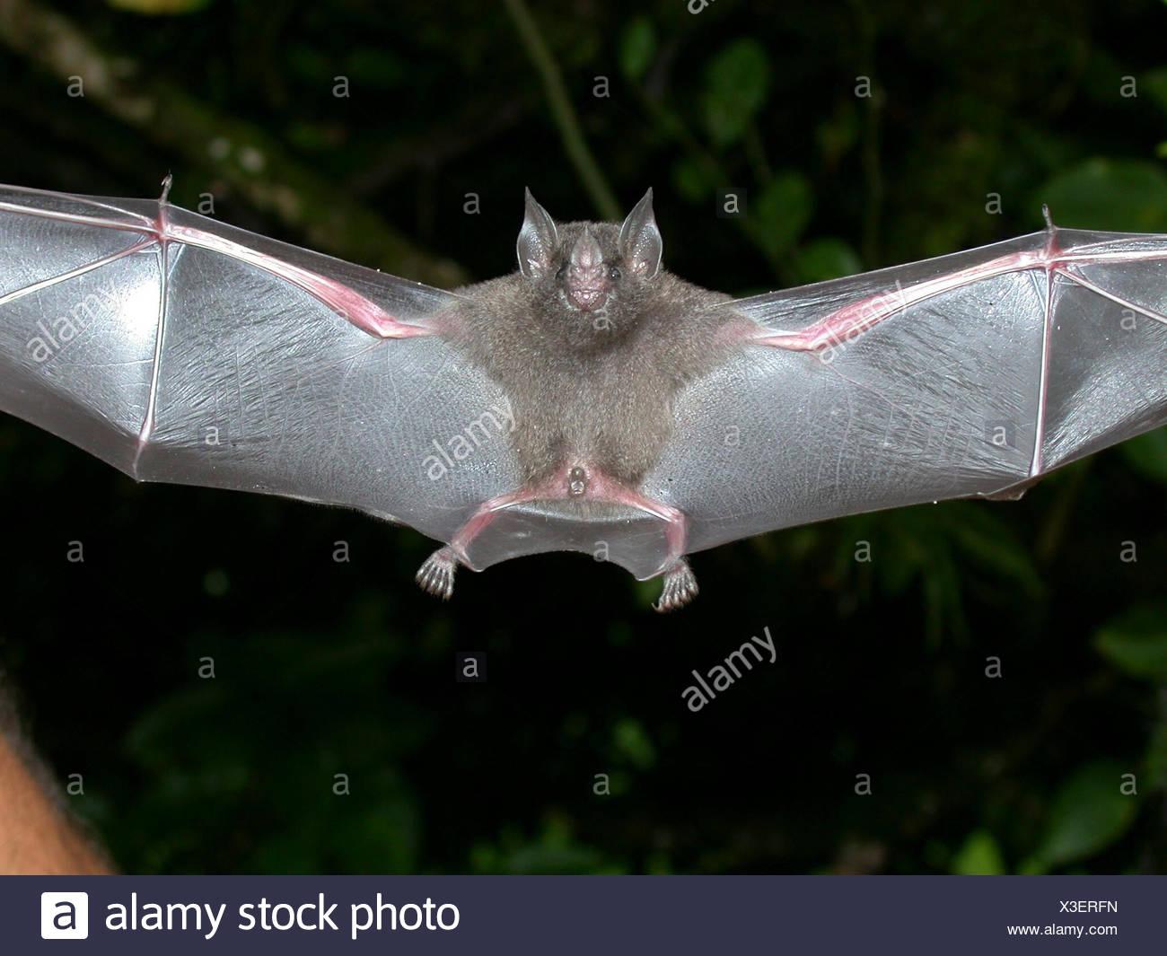 A flying tent-making bat, Uroderma bilobatum. Stock Photo