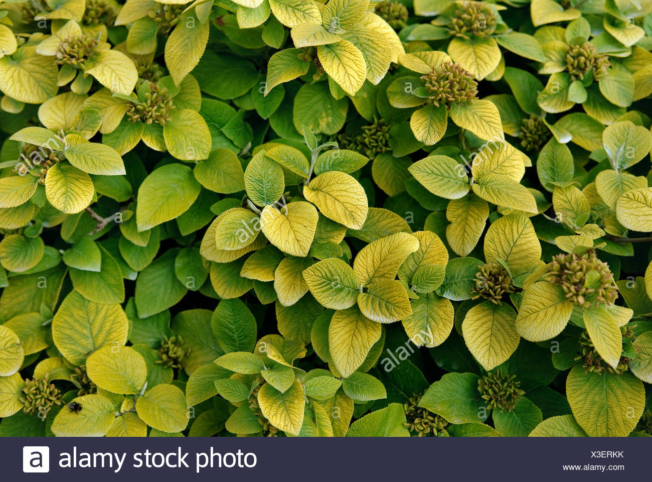 wayfaring-tree (Viburnum lantana 'Aureum', Viburnum lantana Aureum), cultvar Aureum - Stock Image